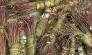 צמחי גת (קהת/ Khat). מקור: ויקיפדיה ברשיון שימוש חופשי. באדיבות : US DRUG Enforcement Administration